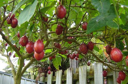 Плоды тамарилло на дереве
