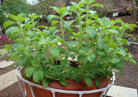 Стевию легко выращивать. Летом выводят на улицу, а зимой держат в помещении чтобы не промерзла.
