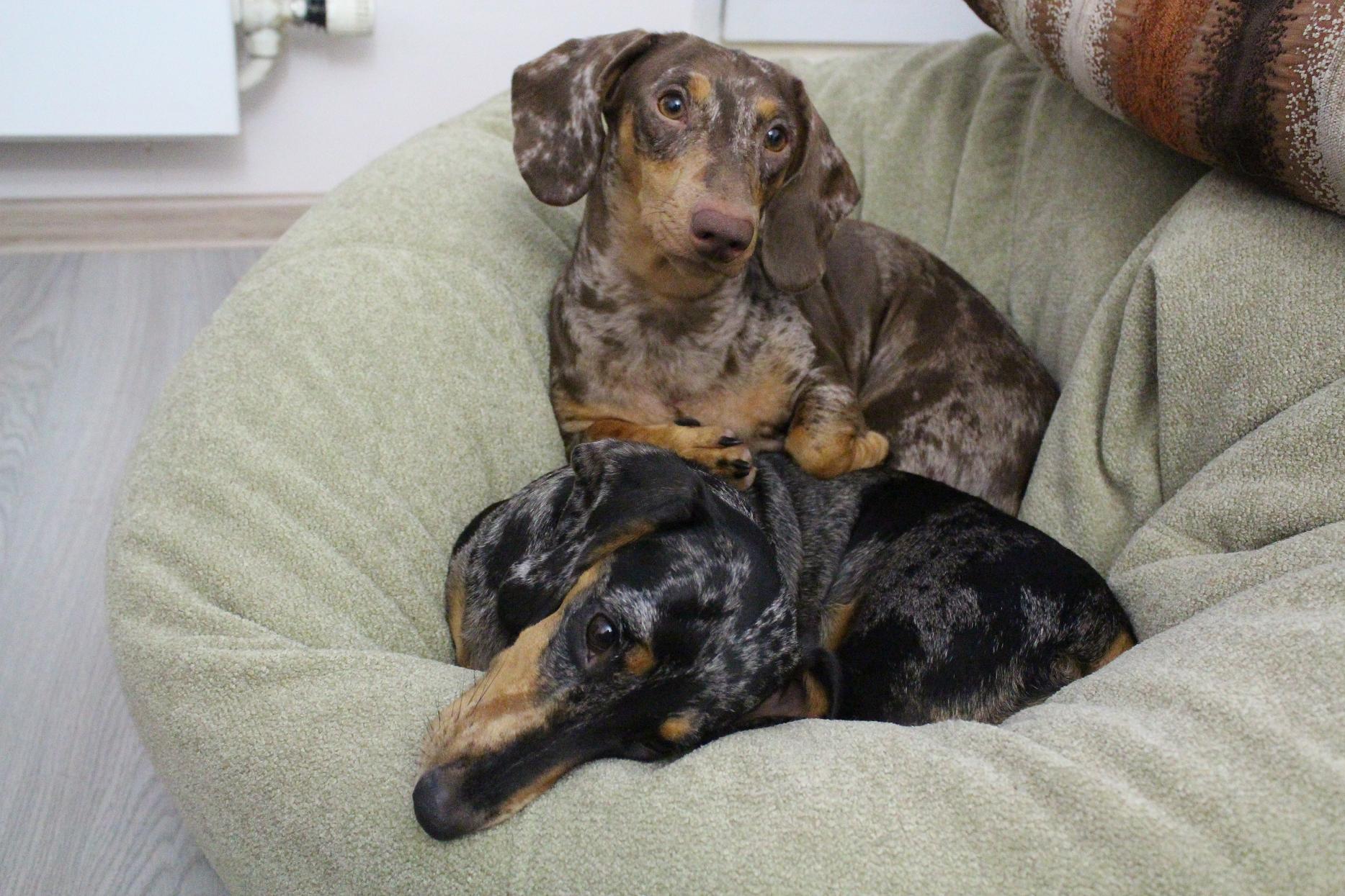 характер породы собаки гладкошёрстная стандартная такса