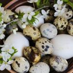Перепелиные яйца: маленький, но весьма полезный продукт