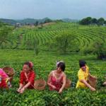 Международный день чая: удивительные факты о напитке